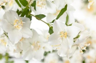 Close up shot of white jasmine flowers.