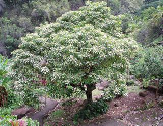 Kukui-Tree